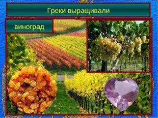 Греки выращивали виноград