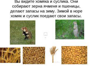 Вы видите хомяка и суслика. Они собирают зерна ячменя и пшеницы, делают запас