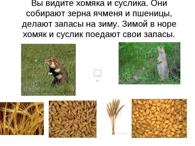 Вы видите хомяка и суслика. Они собирают зерна ячменя и пшеницы, делают запас...