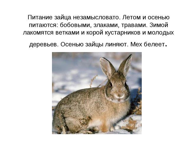 Питание зайца незамысловато. Летом и осенью питаются: бобовыми, злаками, трав...