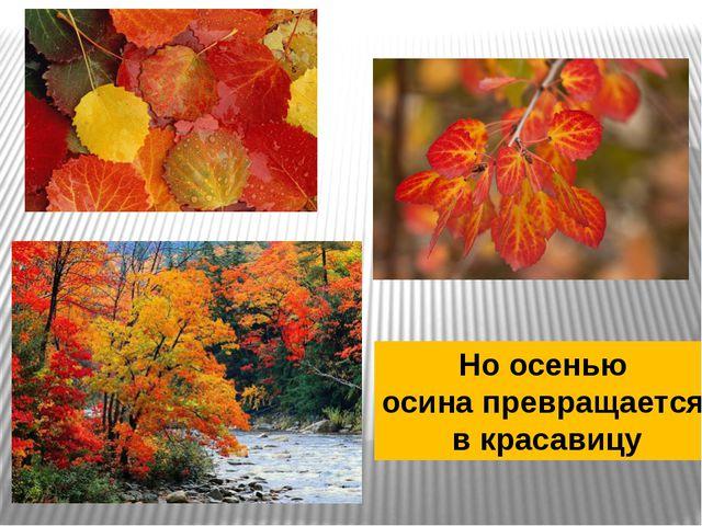 Но осенью осина превращается в красавицу