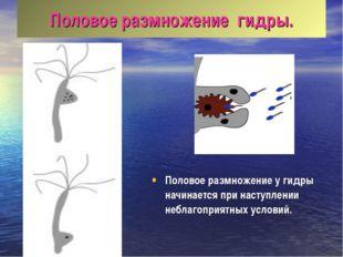 Половое размножение гидры. Половое размножение у гидры начинается при наступл