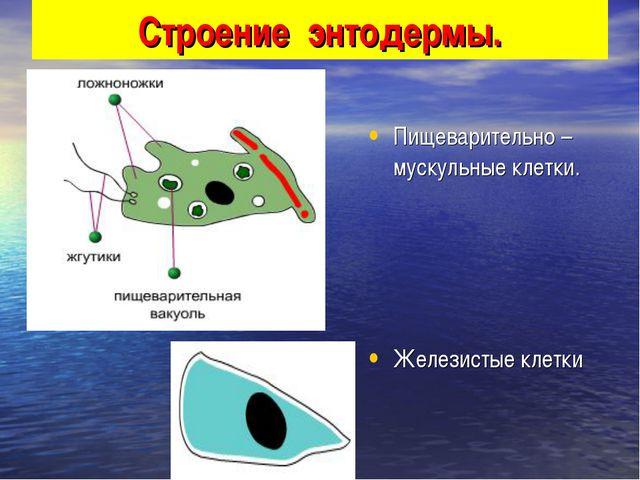 Строение энтодермы. Пищеварительно – мускульные клетки. Железистые клетки