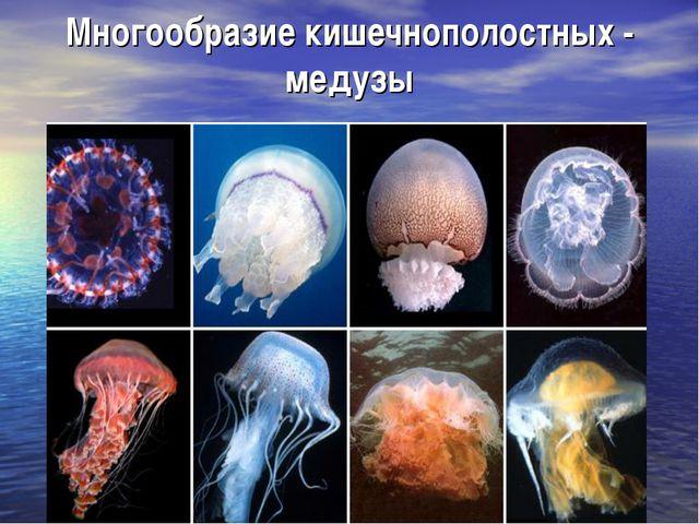 Многообразие кишечнополостных - медузы