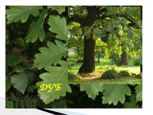 Это самое могучее дерево донского края, живет не одну сотню лет, служит симв