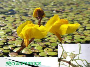 В водоемах дельты Дона есть растение, которое питается насекомыми. Как оно на