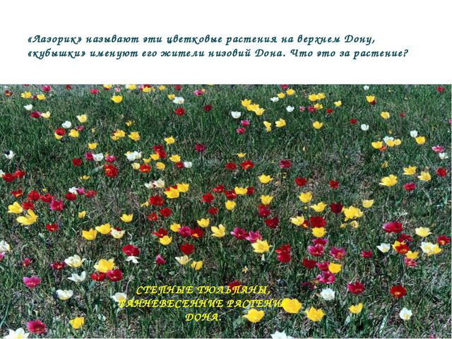 «Лазорик» называют эти цветковые растения на верхнем Дону, «кубышки» именуют...