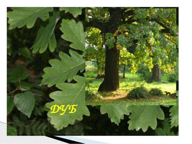 Это самое могучее дерево донского края, живет не одну сотню лет, служит симв...