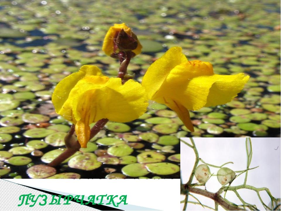 В водоемах дельты Дона есть растение, которое питается насекомыми. Как оно на...