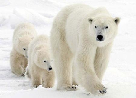 Медведица идёт вместе с медвежатами