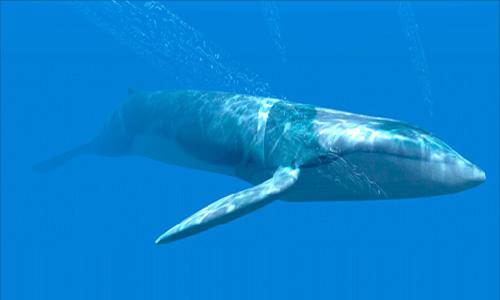 Синий кит (вид сбоку)