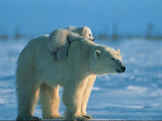 Белый медведь. медвежонок. Фото