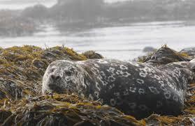 Картинки по запросу арктика:кольчатая нерпа