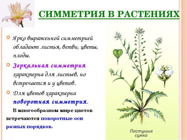 СИММЕТРИЯ В РАСТЕНИЯХ Ярко выраженной симметрией обладают листья, ветви, цвет...