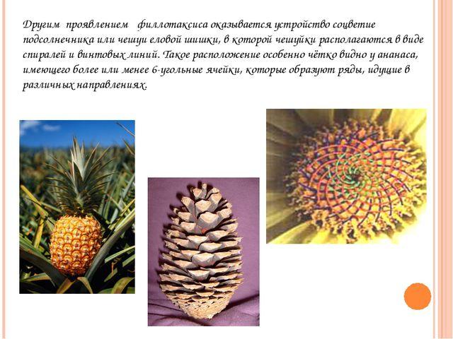 Другим проявлением филлотаксиса оказывается устройство соцветие подсолнечника...