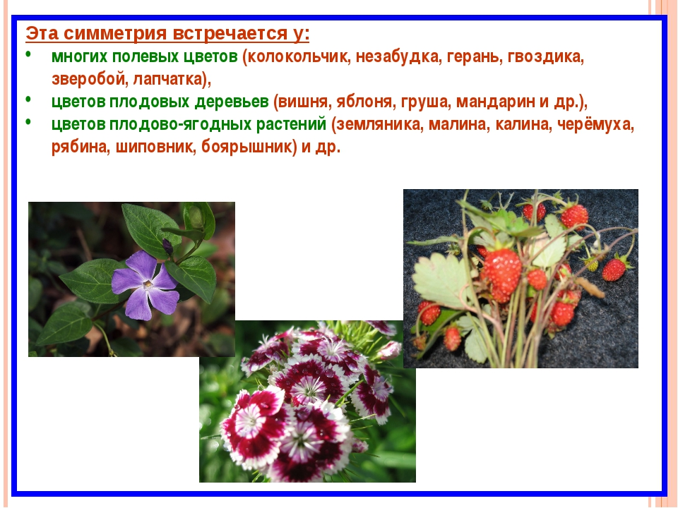 Эта симметрия встречается у: многих полевых цветов (колокольчик, незабудка, г...