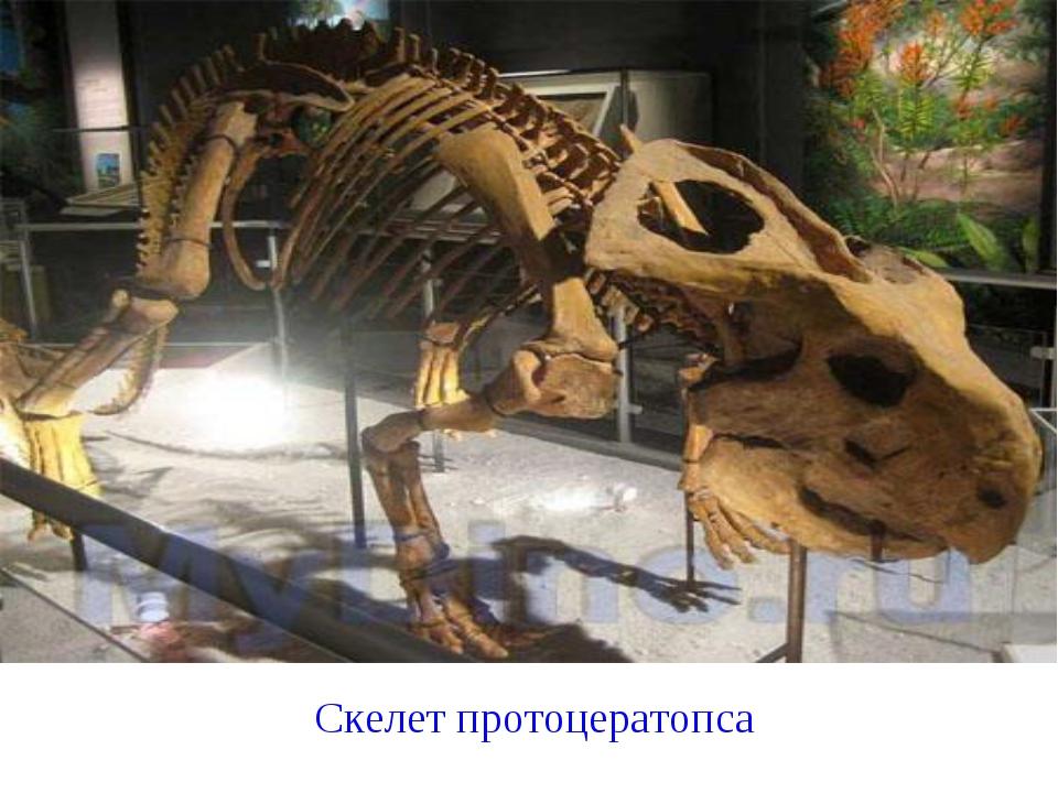 Скелет протоцератопса