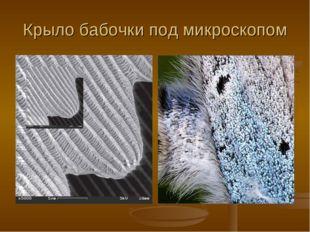Крыло бабочки под микроскопом
