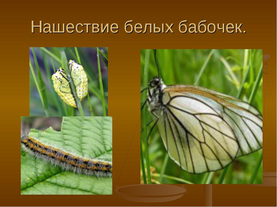 Нашествие белых бабочек.