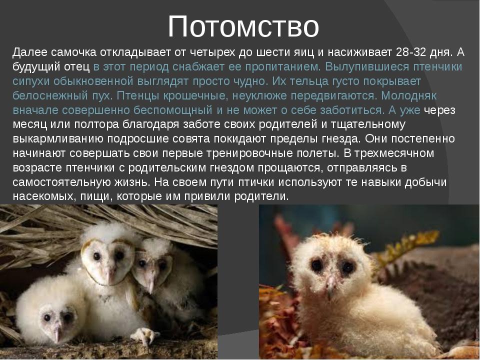 Потомство Далее самочка откладывает от четырех до шести яиц и насиживает 28-3...
