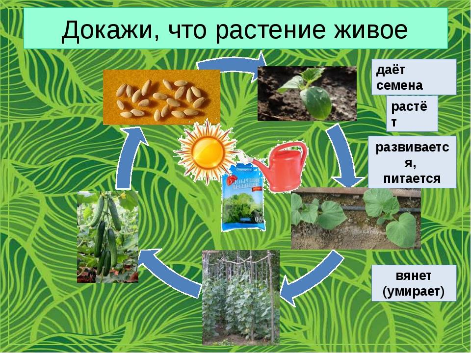 Докажи, что растение живое даёт семена растёт развивается, питается вянет (ум...