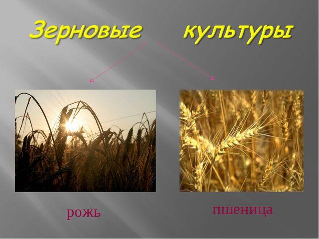 рожь пшеница