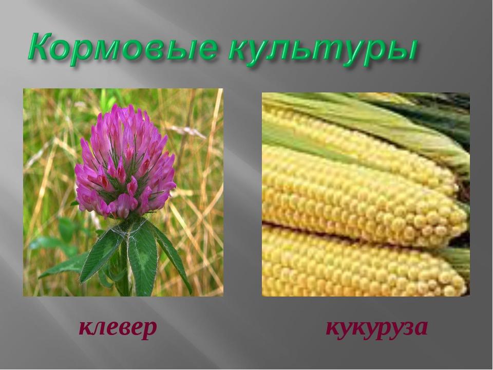 клевер кукуруза