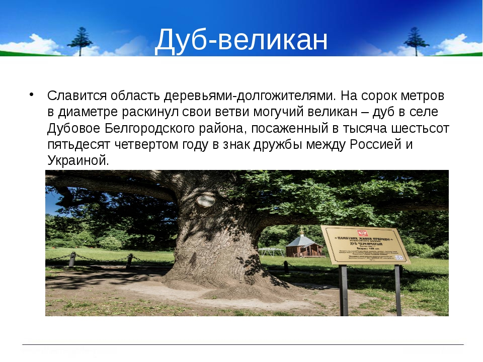 Дуб-великан Славится область деревьями-долгожителями. На сорок метров в диаме...