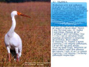 АҚ ТЫРНА Жойылып кету жағдайында тұрған түр. Солтүстік Азияда, Ресейдің солтү