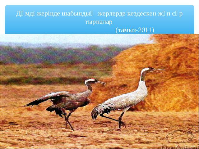Дәмді жерінде шабындық жерлерде кездескен жұп сұр тырналар (тамыз-2011)