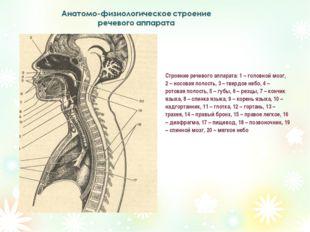 Строение речевого аппарата: 1 – головной мозг, 2 – носовая полость, 3 – тверд