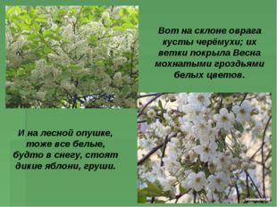 Вот на склоне оврага кусты черёмухи; их ветки покрыла Весна мохнатыми гроздья
