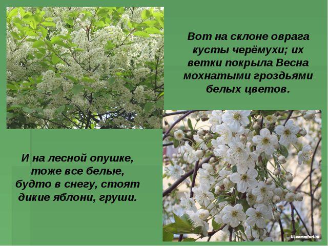 Вот на склоне оврага кусты черёмухи; их ветки покрыла Весна мохнатыми гроздья...