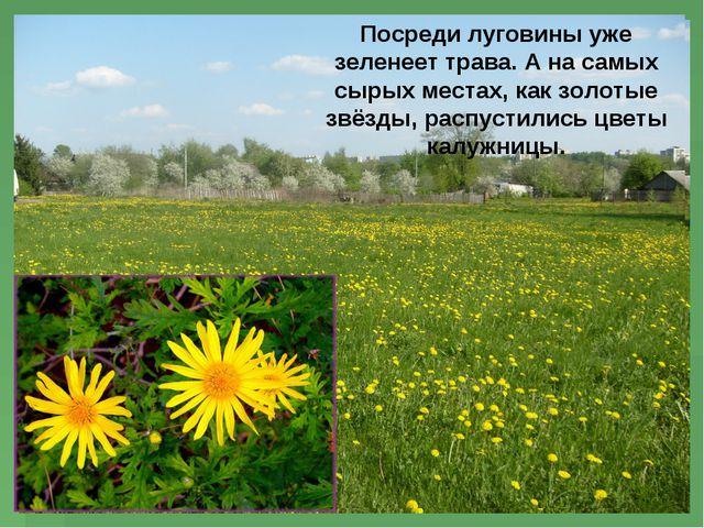 Посреди луговины уже зеленеет трава. А на самых сырых местах, как золотые звё...