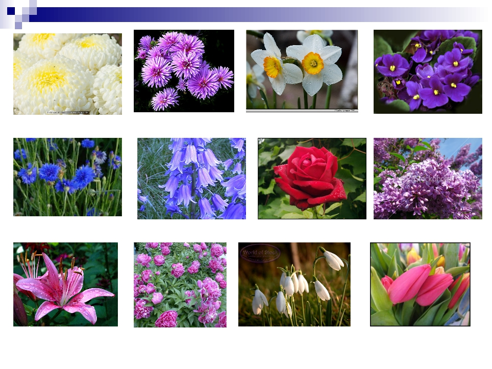 Chrysanthemum Daffodil Aster Violet Cornflower Bluebells Rose Lilac Lily Peon...