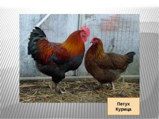 Петух Курица