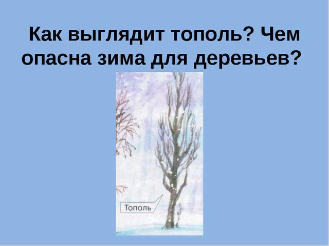 Как выглядит тополь? Чем опасна зима для деревьев?