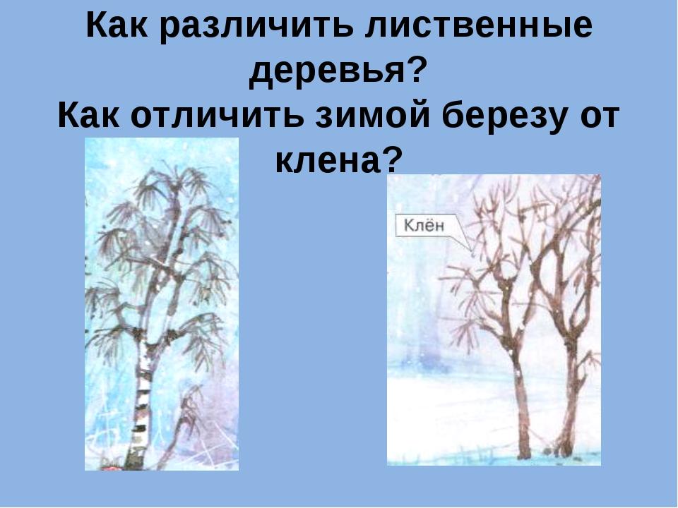 Как различить лиственные деревья? Как отличить зимой березу от клена?