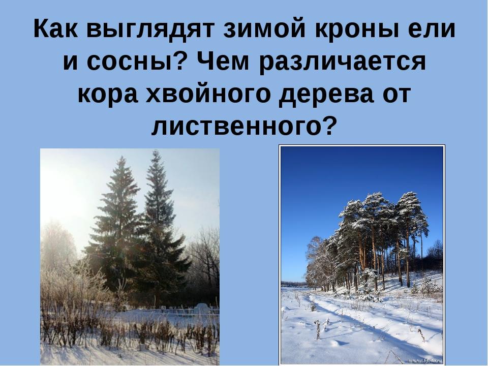 Как выглядят зимой кроны ели и сосны? Чем различается кора хвойного дерева от...