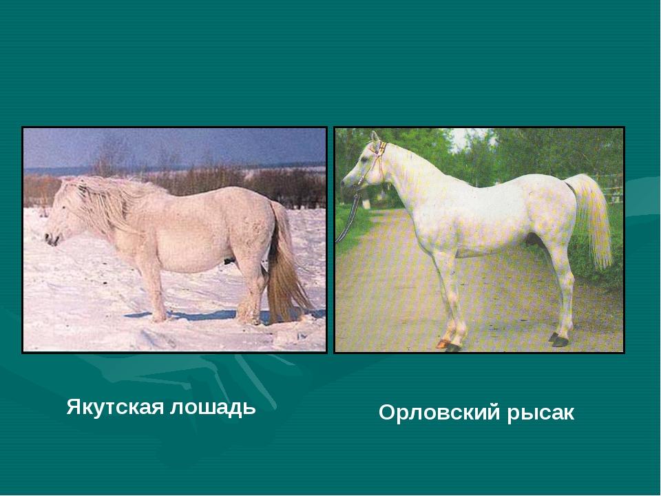 Якутская лошадь Орловский рысак