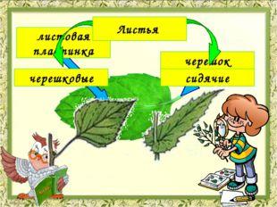 листовая пластинка черешок Листья черешковые сидячие