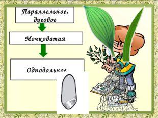 Жилкование Корневая система Количество семядолей Параллельное, дуговое Мочко