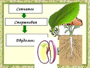 Жилкование Корневая система Количество семядолей Сетчатое Стержневая Двудоль