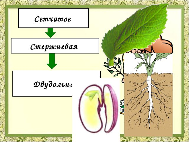 Жилкование Корневая система Количество семядолей Сетчатое Стержневая Двудоль...