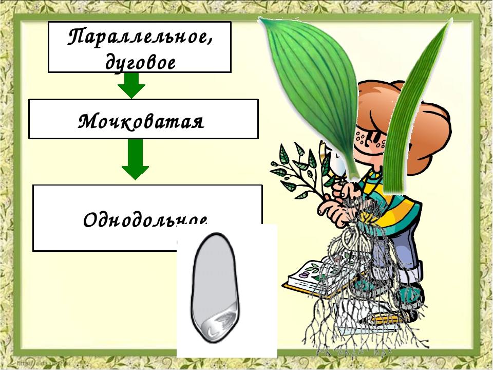 Жилкование Корневая система Количество семядолей Параллельное, дуговое Мочко...