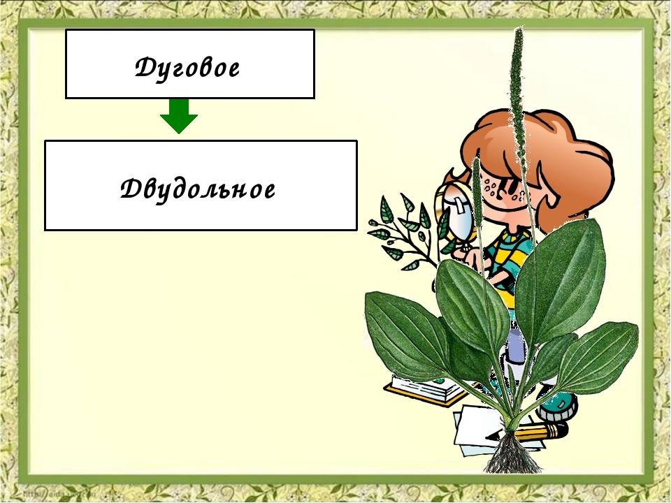 Жилкование Количество семядолей Дуговое Двудольное