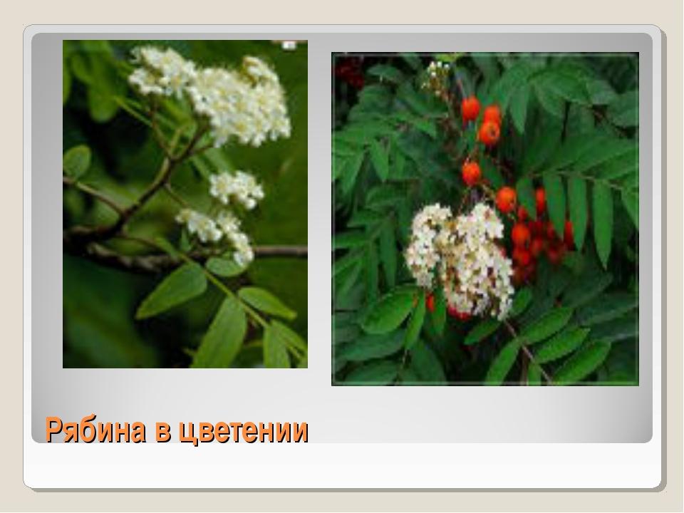 Рябина в цветении