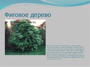 Фиговое дерево Многолетнее субтропическое растение—фиговое дерево—широко куль