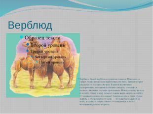Верблюд Верблюд. Дикий верблюд сохранился только в Монголии, в самых глухих у