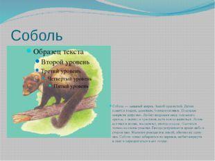 Соболь Соболь — хищный зверек. Зимой пушистый. Летом кажется тощим, длинным,